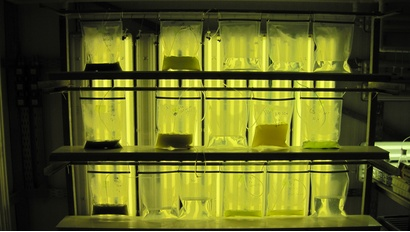 Microalgae in the lab